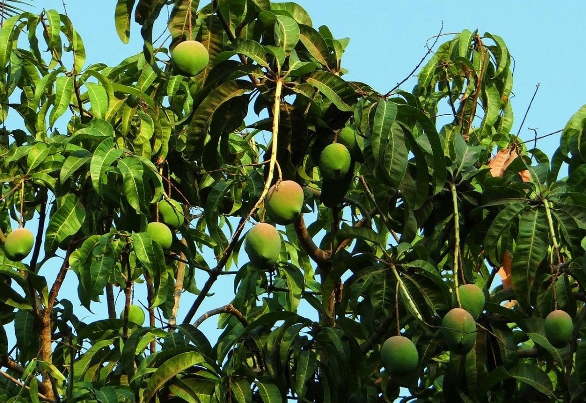 El árbol de mango da muchos frutos de tamaño medio