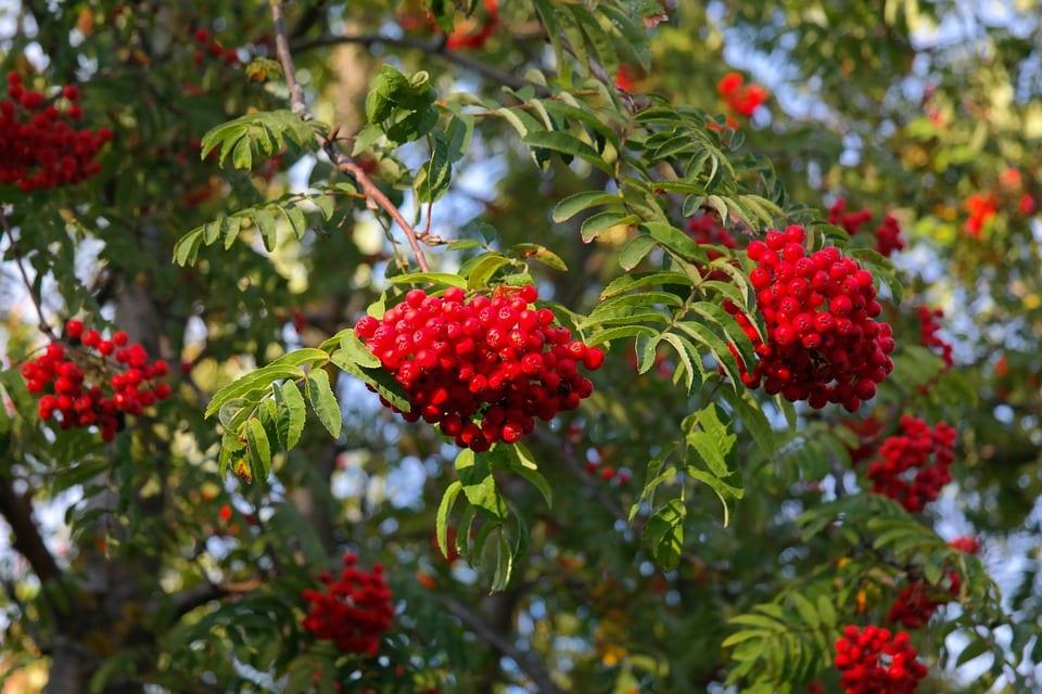 Cuidados del Sorbus