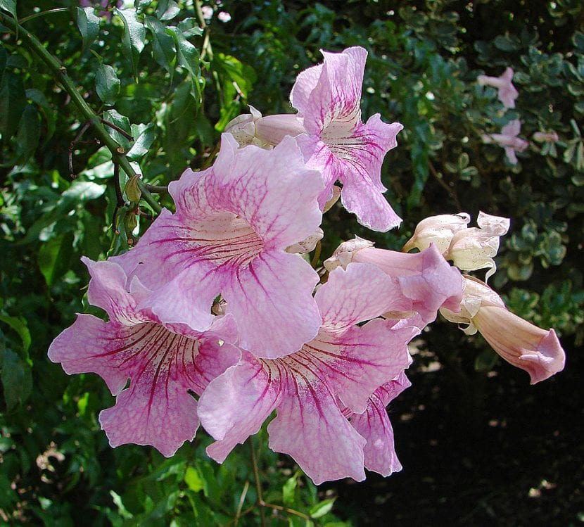 Preciosa Bignonia de flores rosas para tu jardín