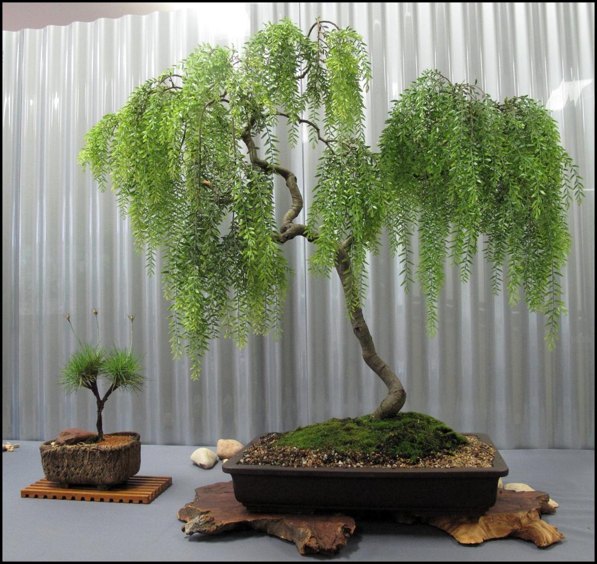 Vista del bonsai de sauce llorón
