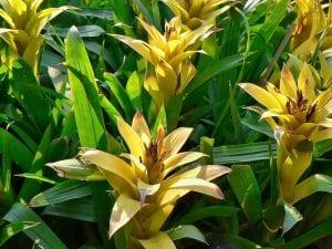 Cultiva bromelias en el exterior en climas cálidos