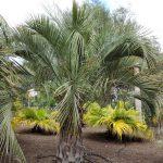 La Butia yatay es una palmera resistente