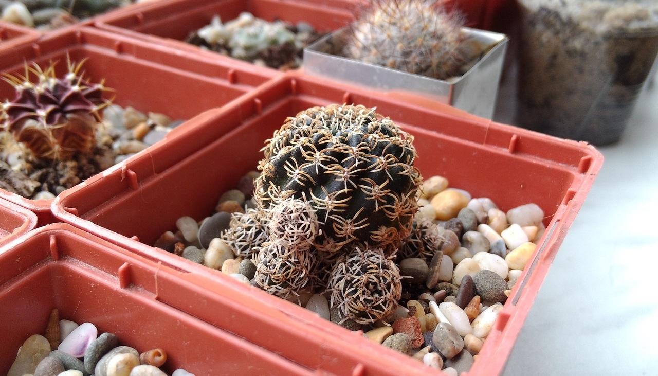 Los cactus en maceta quieren pocos riegos