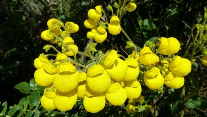Calceolaria de flor amarilla