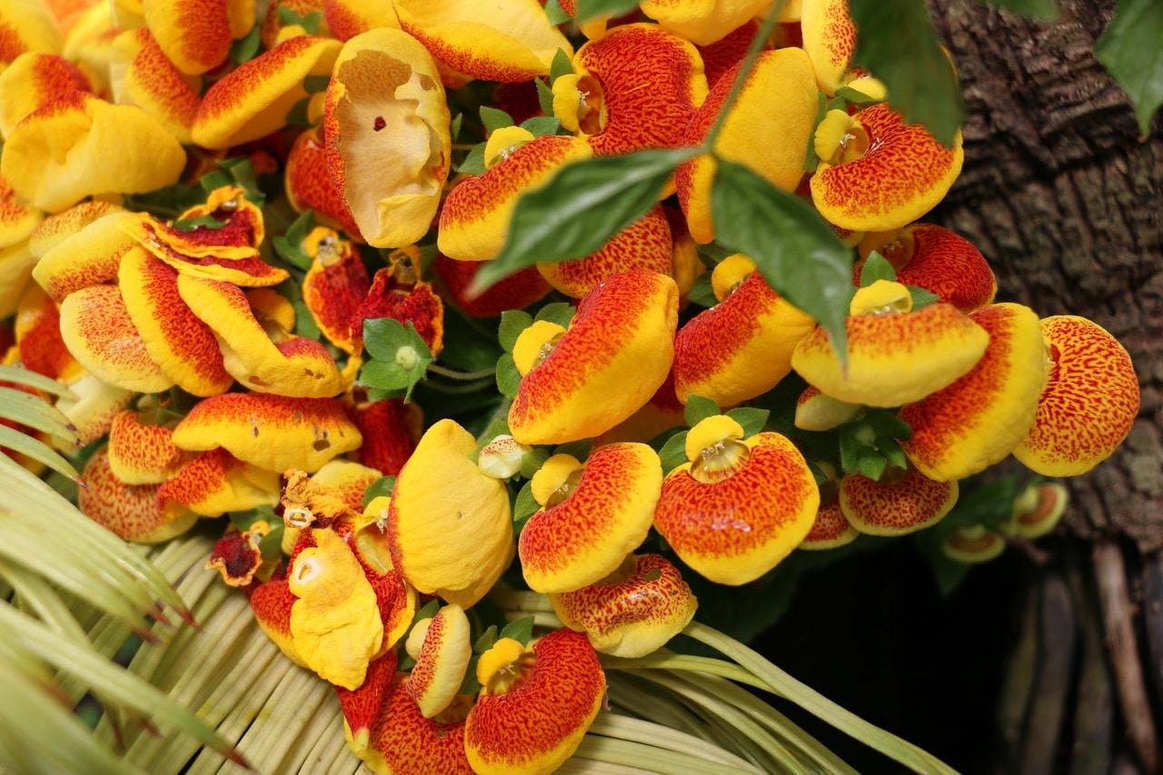 La calceolaria es una planta decorativa