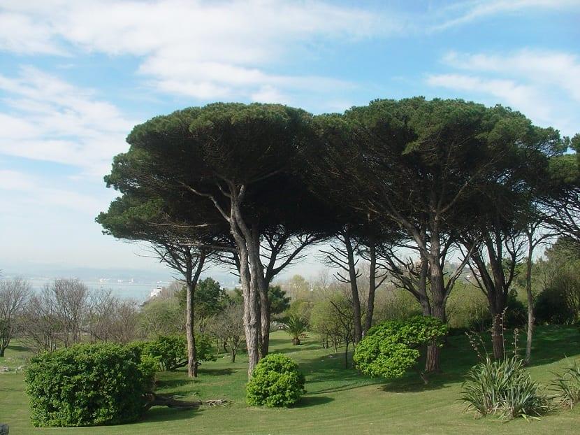 el pinus pinea tiene gran área de distribución por muchos climas