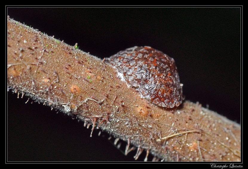 Cochinilla alargada en una planta