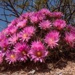 Coryphantha macromeris en flor