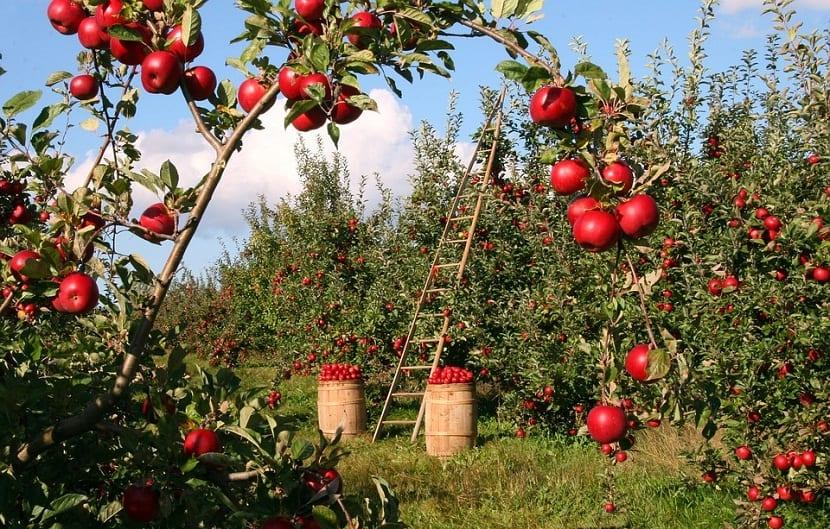cuidados del manzano