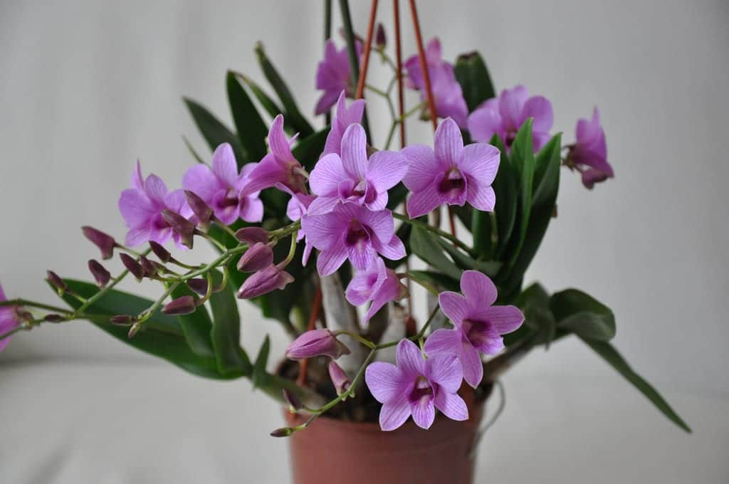 Dendrobium en maceta