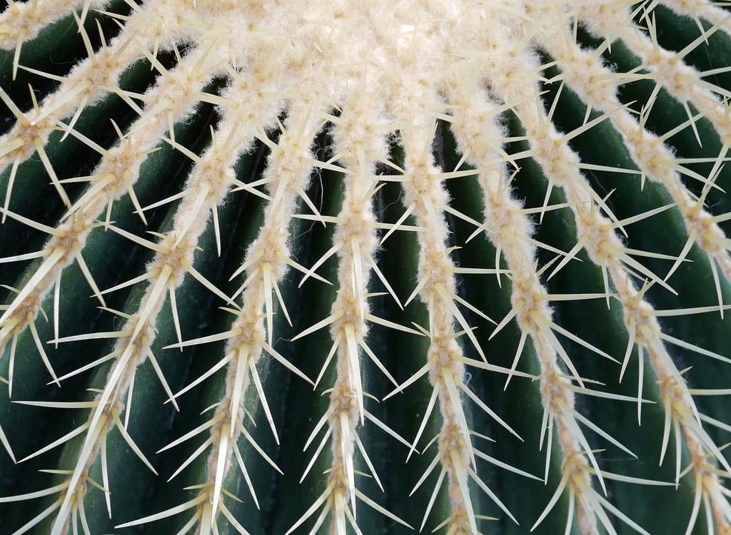 Cacctus de la especie Echinocactus grusonii