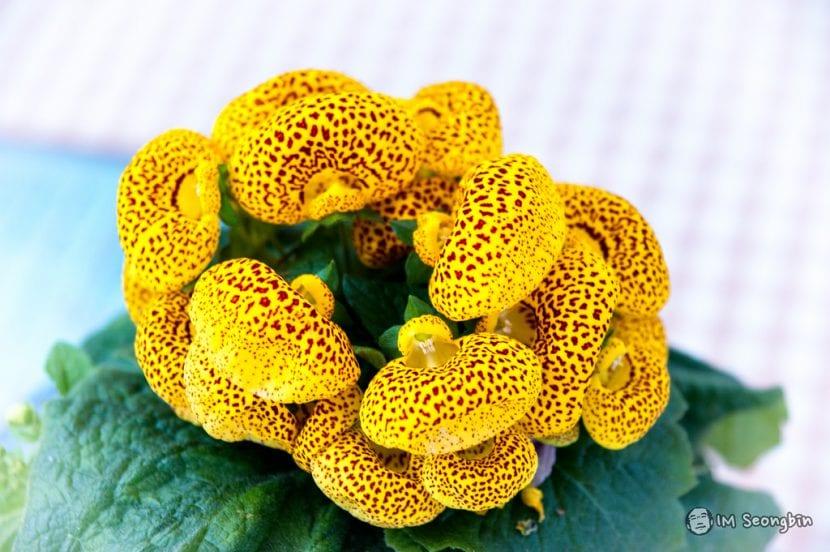 Flor amarilla de Calceolaria