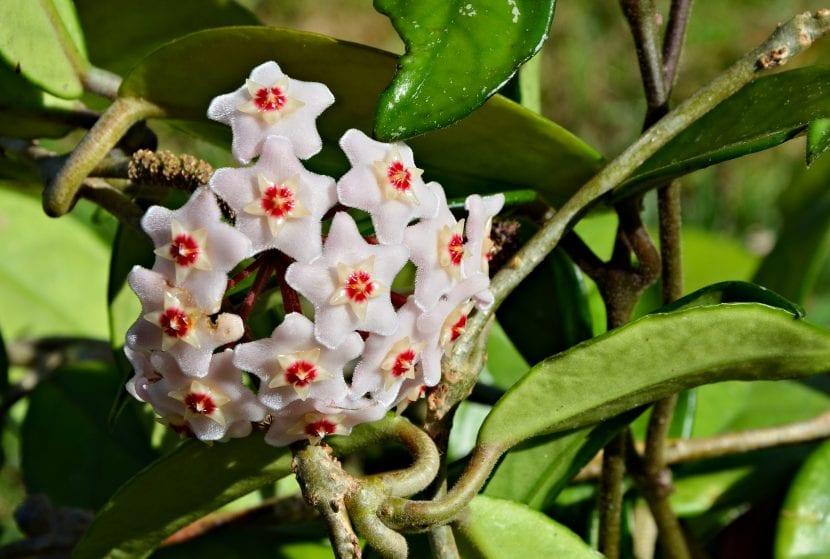 Vista de las flores de la Hoya carnosa o flor de cera