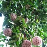 Ejemplar de la Hoya carnosa f. compacta en flor