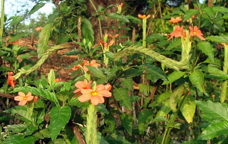 La Crossandra son flores de color naranja