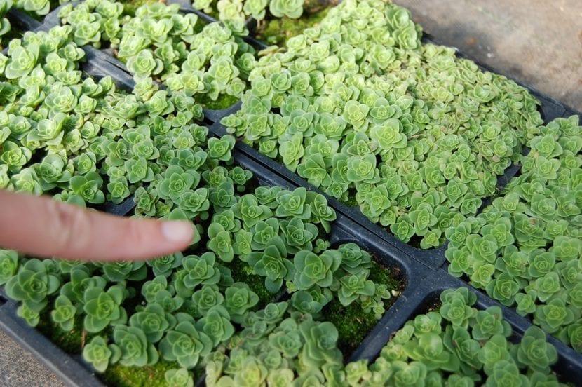 Plantas de Greenovia aurea