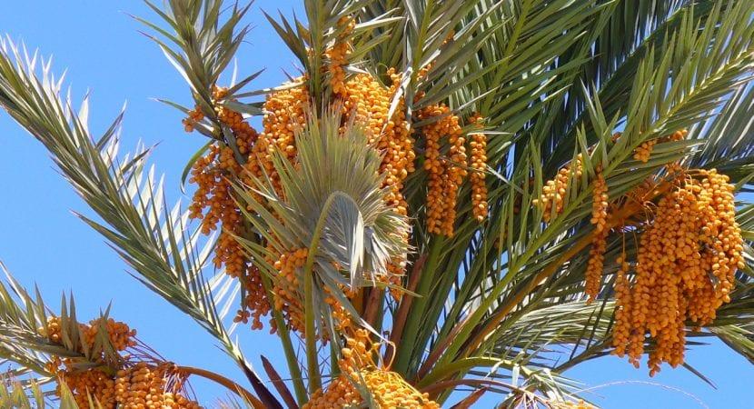 Vista de las preciosas hojas azuladas de la datilera, y sus frutos