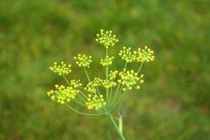 Inflorescencia de una planta herbácea