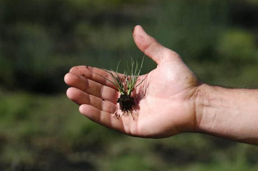 Planta tu joven Juncus acutus en maceta o en el jardín