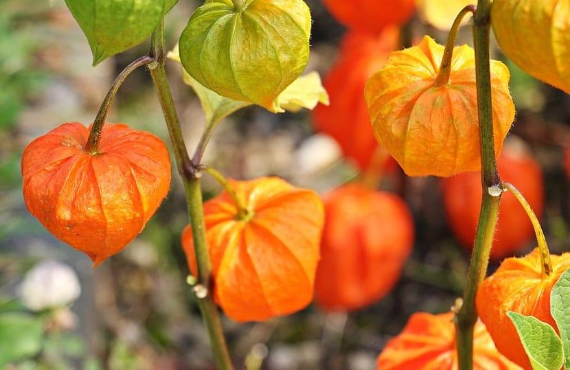 El Fisalis o Physalis es una planta que pertenece a la familia de las solanaceas