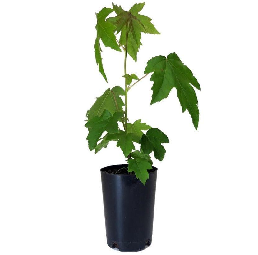 Joven planta de Liquidambar en maceta