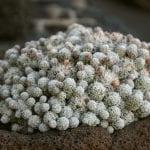 Ejemplar de Mammillaria vetula