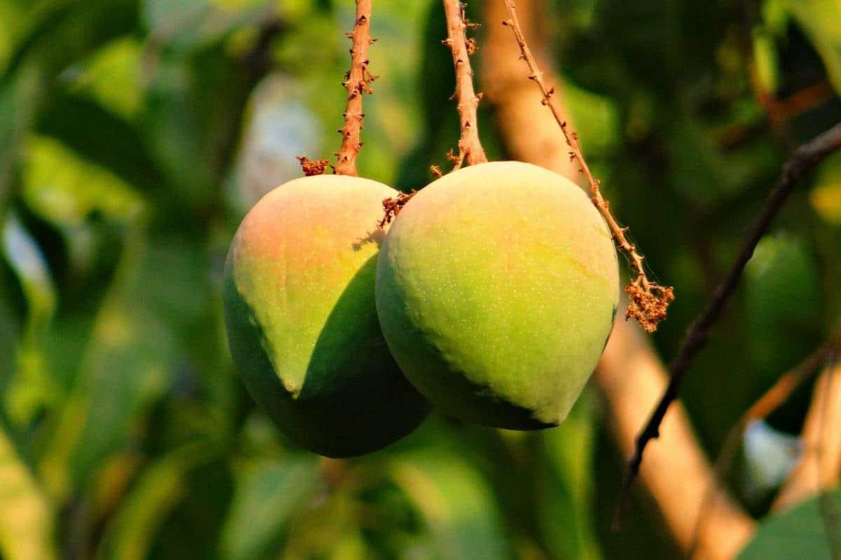 El mango tarda mucho en dar frutos