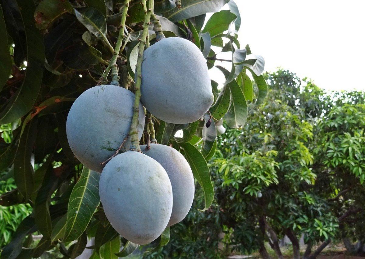 Los frutos del mango son grandes