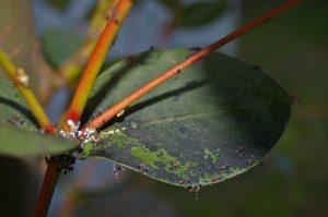 Negrilla en hojas