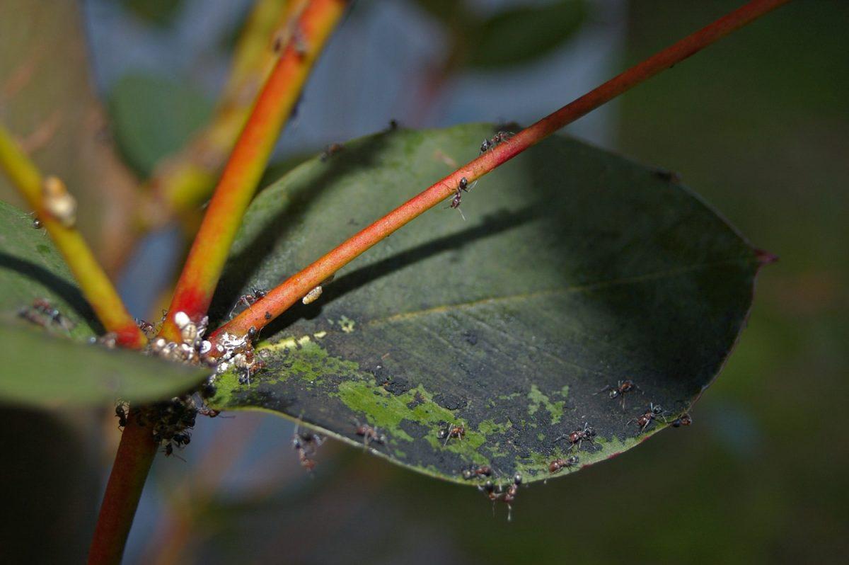 Negrilla en hojas de un arbusto