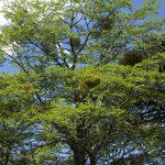 El Nothofagus antarctica es un árbol grande