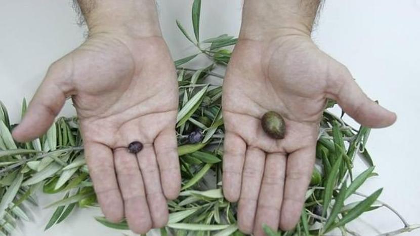 Consecuencias de la vecería del olivo