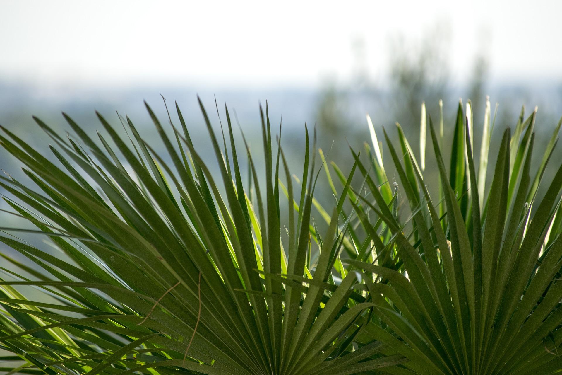 Las palmeras son verdes por lo general