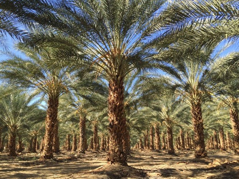 Plantación de palmeras datileras