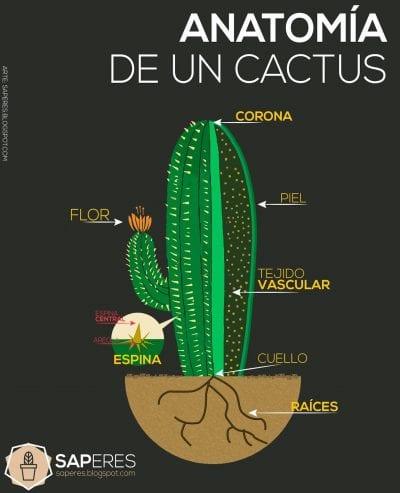 Las partes del cactus