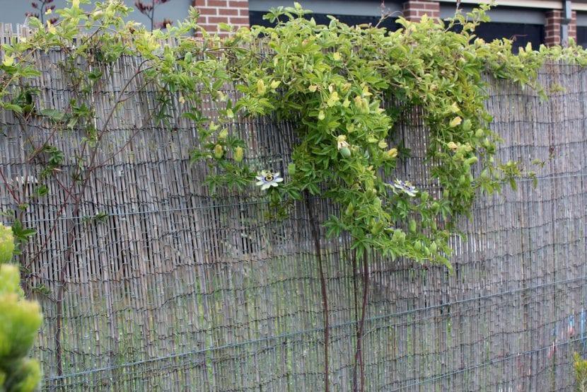 Utiliza tu Passiflora para cubrir paredes o muros