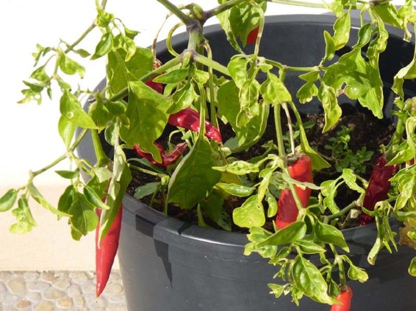 Riego y cosecha del pimiento morron en maceta