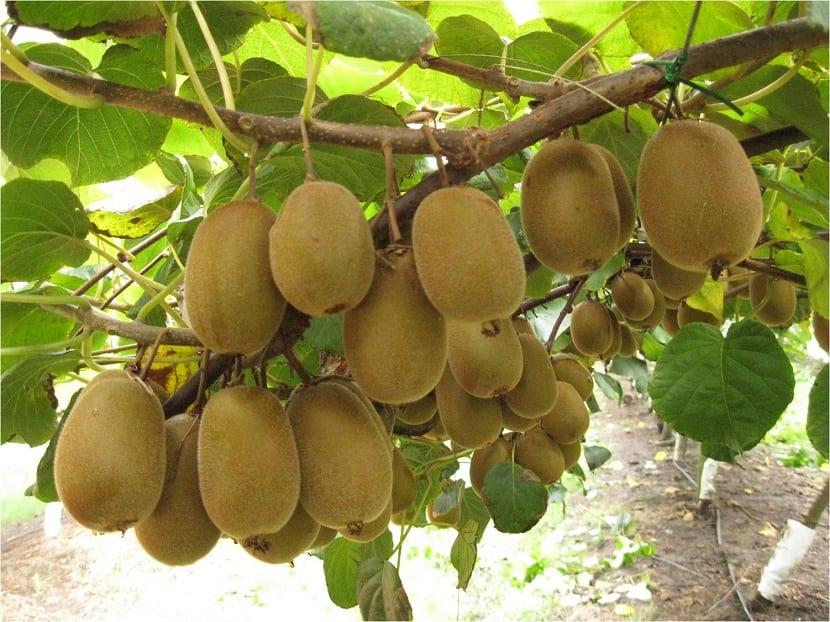 planta del kiwi