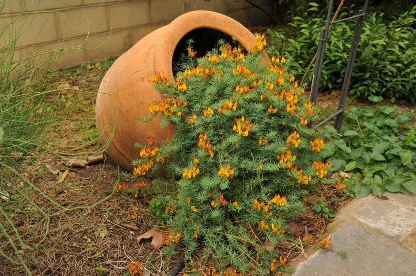 Planta tu Lotus maculatus en el jardín
