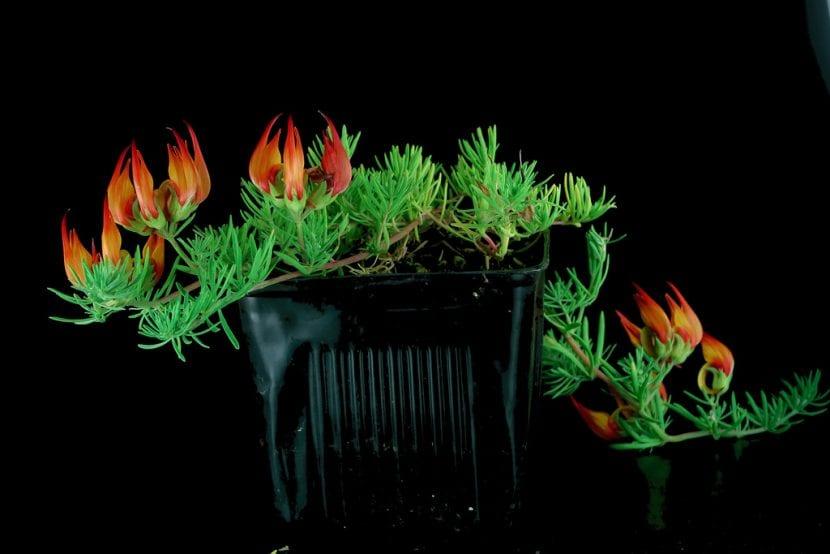 Joven planta de Lotus maculatus en maceta