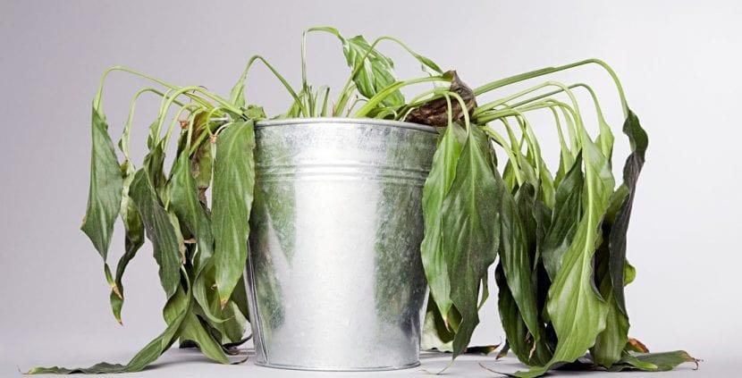 Spatiphyllum con hojas secas por falta de riego