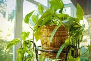 Protege a tu potos del sol directo para que no se quemen sus hojas
