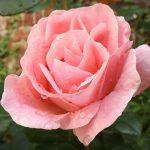El rosal es un arbusto de exterior que florece todo el año