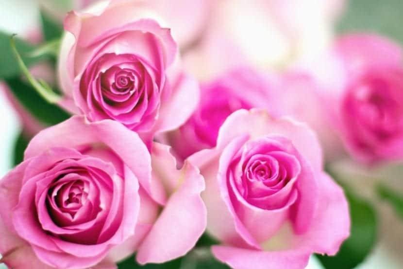 Las rosas entraron en el Libro Guinness de los Récords