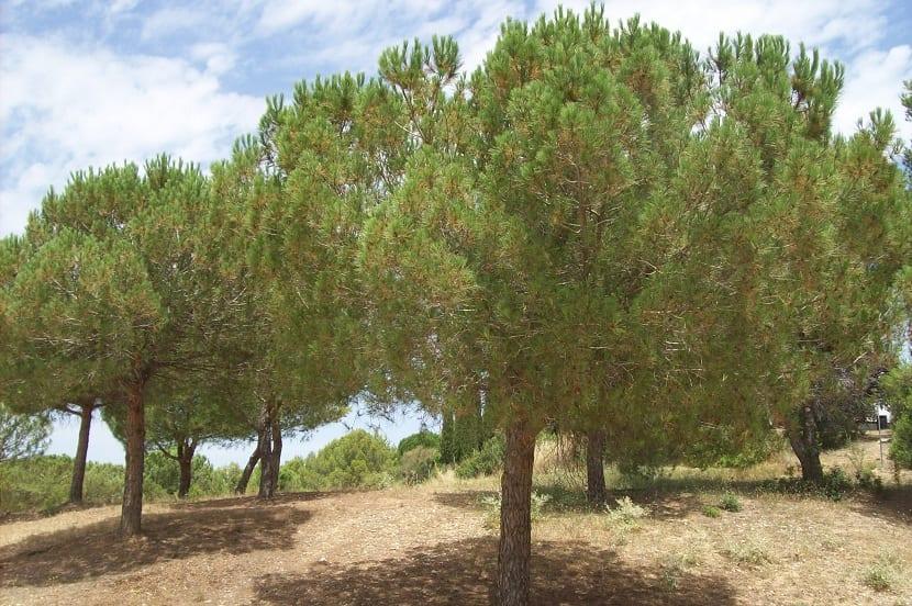 el pino piñonero soporta suelos pobres