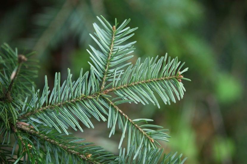Vista de las hojas adulta del Abies alba
