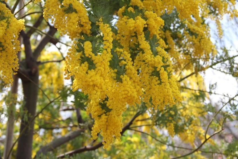 Vista de las hojas y flores de la Acacia dealbata