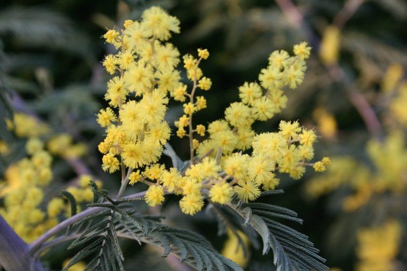 Cuida tu Acacia dealbata para que florezca