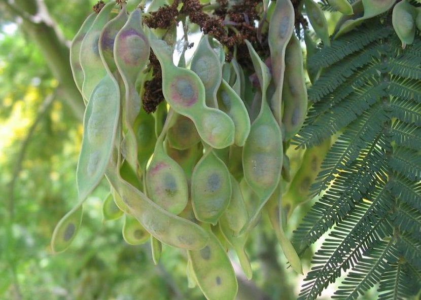 Multiplica tu Acacia dealbata por semillas en primavera