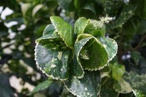 Detalle de las hojas de la Acalypha amentacea